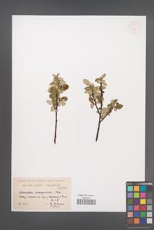 Cotoneaster integerrima [KOR 55090]