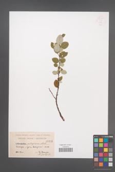 Cotoneaster integerrima [KOR 55092]