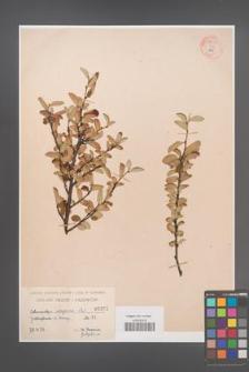 Cotoneaster integerrima [KOR 55095]