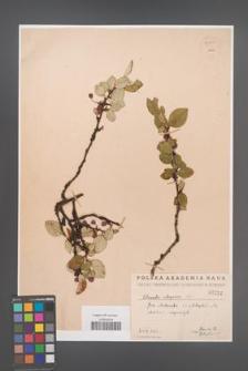 Cotoneaster integerrima [KOR 55097]