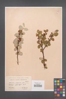 Cotoneaster integerrima [KOR 55104]