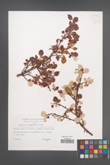 Cotoneaster integerrimus [KOR 33138]