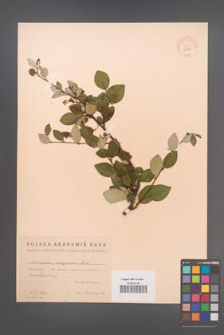 Cotoneaster integerrimus [KOR 13088]