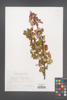 Cotoneaster integerrimus [KOR 44823]