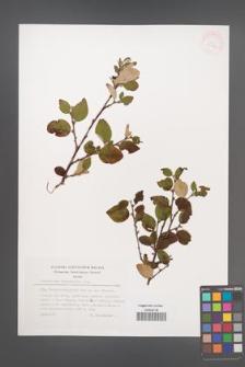 Cotoneaster integerrimus [KOR 32166]
