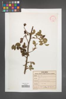 Rosa canina [KOR 46512]