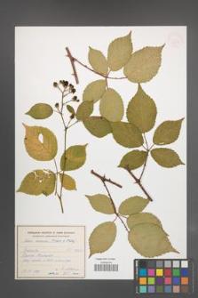 Rubus ambrosius [KOR 54948]