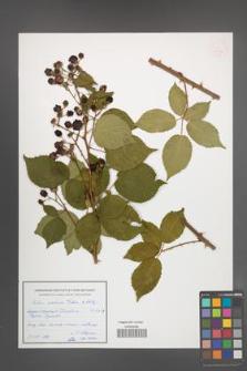 Rubus ambrosius [KOR 54942]