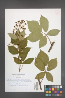 Rubus pericrispatus [KOR 54958]