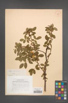 Rosa canina [KOR 17802]