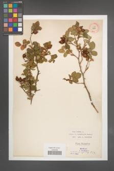 Rosa canina [KOR 17848]