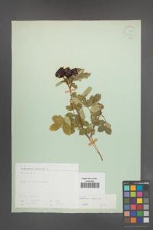 Rosa canina [KOR 17775]