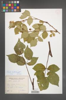 Rubus ambrosius [KOR 54924]