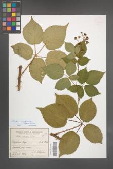 Rubus ambrosius [KOR 54926]