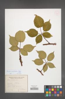 Rubus ambrosius [KOR 54929]