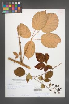 Rubus ambrosius [KOR 54933]