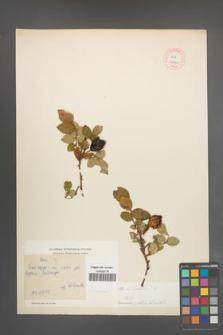 Rosa canina [KOR 17700]