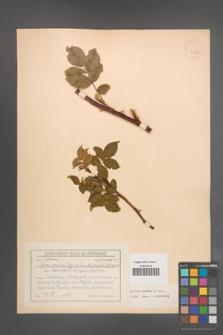 Rosa canina [KOR 17687]