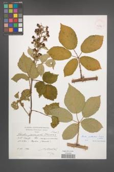 Rubus guttiferus [KOR 39877]