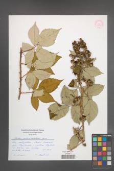 Rubus gallinimontanus [KOR 55356]