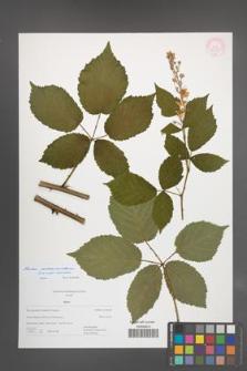 Rubus macromontanus [KOR 55358]
