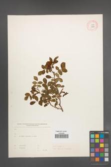 Rosa canina [KOR 17667]
