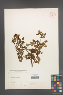 Rosa canina [KOR 17657]