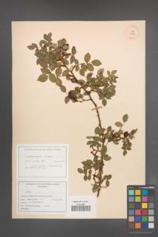 Rosa canina [KOR 17642]