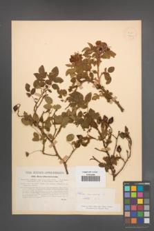 Rosa canina [KOR 17705]