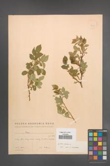 Rosa canina [KOR 17692]
