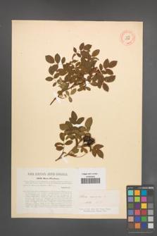Rosa canina [KOR 17718]