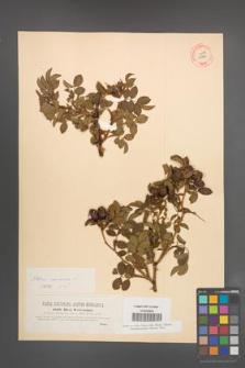 Rosa canina [KOR 17714]