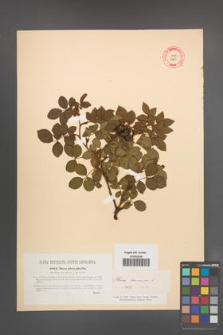 Rosa canina [KOR 17695]