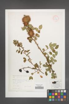 Rosa canina [KOR 26787]