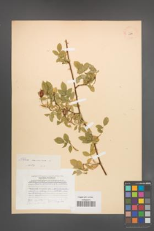 Rosa canina [KOR 17814]