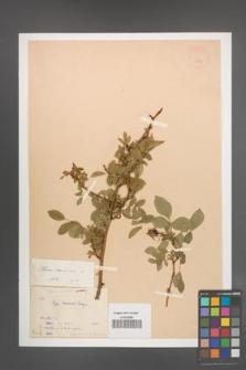 Rosa canina [KOR 17704]