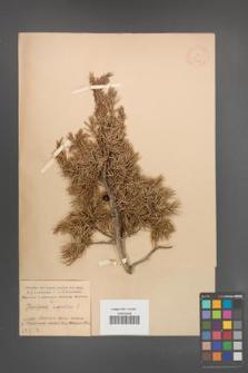Juniperus oxycedrus [KOR 14606]