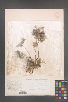 Juniperus oxycedrus [KOR 14617]