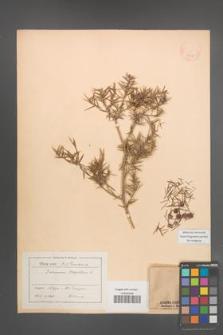Juniperus oxycedrus [KOR 14609]