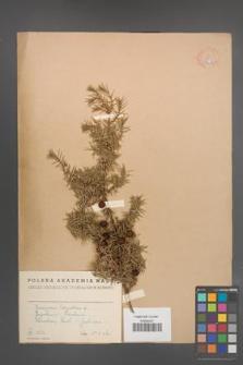Juniperus oxycedrus [KOR 14612]