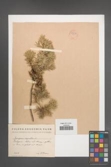 Juniperus oxycedrus [KOR 14613]