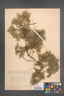 Juniperus oxycedrus [KOR 14603]