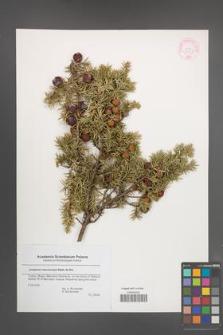 Juniperus macrocarpa [KOR 44567]