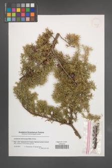 Juniperus macrocarpa [KOR 43331]