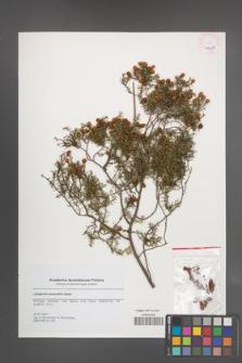 Juniperus navicularis [KOR 45650]