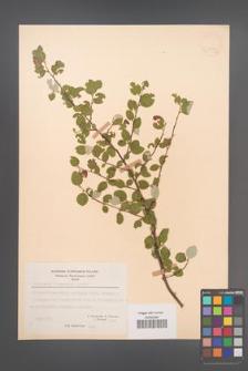 Cotoneaster integerrimus [KOR 21599]