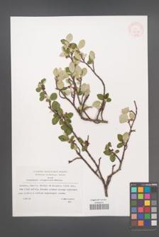 Cotoneaster integerrimus [KOR 32681]
