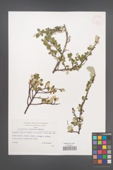 Cotoneaster integerrimus [KOR 32683]