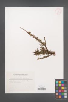 Cotoneaster integrifolius [KOR 27864]