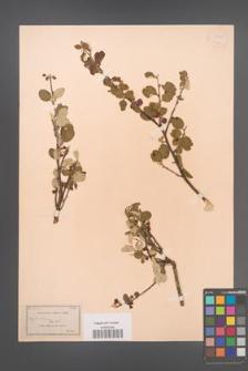 Cotoneaster integerrimus [KOR 13172]